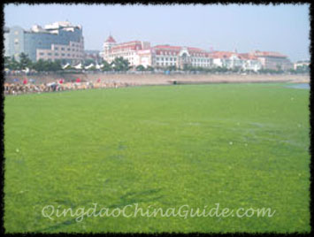 Qingdao Blue-Green Algae